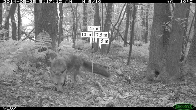 camera-trap-fox-2