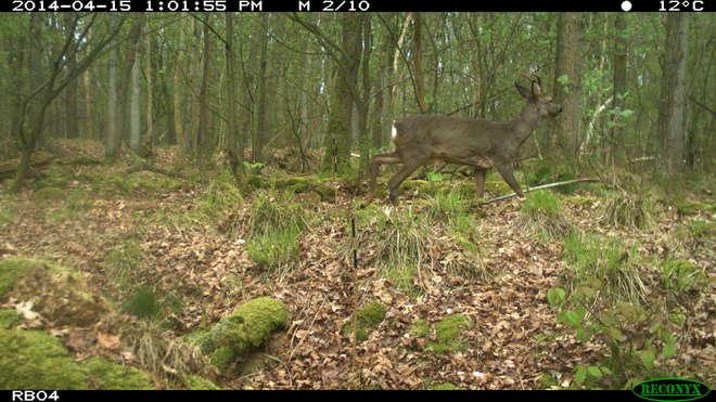 rb04-roe-deer