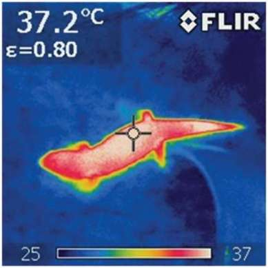 thermogram-of-a-warm-lizard-moving-across-a-cooler-background