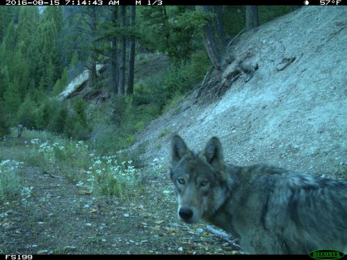 Wolf Pic (2)