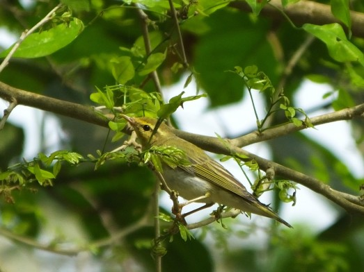 Wood Warbler (John Mallord)