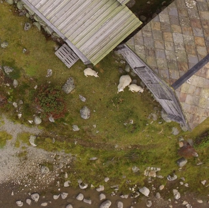 sheep drone